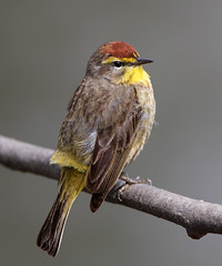 Palm Warbler (Hard-Rain) Tags: bird illinois aves western naperville warbler passeriformes palmwarbler dupageriver dendroicapalmarum parulidae specanimal explore14 animalkingdomelite avianexcellence