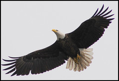 027  The Bald Eagle Adventure Is Completed (vidterry) Tags: eagle baldeagle fabulous picturesque magicmoments naturesbest enjoylife naturesfinest naturescall specnature mywinners aplusphoto wowiekazowie naturephotoshp theunforgettablepictures onlythebestare natureoutdoorlife natureselegantshots damniwishidtakenthat mygearandme mygearandmesilver aboveandbeyondlevel1 aboveandbeyondlevel2