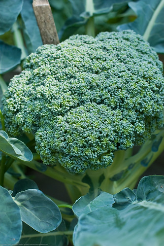 Humble Garden: goliath broccoli