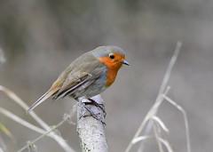 Robin (gillybooze) Tags: ©allrightsreserved bird robin birdwatcher dof outdoor bokeh shrub
