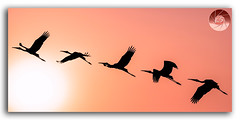 Panoramic Silhouette of Painted Stork flying against the setting Sun (KS Photography!) Tags: paintedstork stork silhouette waterbirds wadingbird sunset sun feather bird flying flight wildlife animalsinthewild animal sunlight nature beautyinnature panorama safari animals backgrounds travel scenics panoramic horizontal backlit landscape orangecolor yellow black outdoors bright swimminganimals animalwing lighteffect freshwaterbird clearsky relaxation dusk evening majestic autumn sunrise inspirational spiritual freedom imagination tropical sunshine vibrantcolor photography