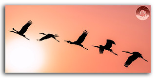 Panoramic Silhouette of Painted Stork flying against the setting Sun