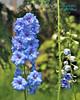 "Delphinium in Summer at Leonard J. Buck Garden of Far Hills New Jersey (takegoro) Tags: ""leonard j buck garden"" ""far hills"" ""new jersey"" garden nature preserve sanctuary summer delphinium blue flower wildflower plants"