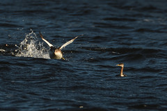 Here It Comes....! (stonefaction) Tags: red necked grebe great crested loch lintrathen angus kirriemuir scotland birds nature wildlife