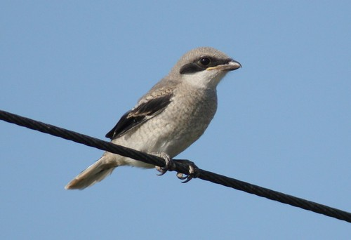 Loggerhead Shrike - 5/9/2009
