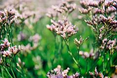 Sea Lavender #4 (Quiet Corners) Tags: sea plant color colour green slr film work 35mm dof purple kodak harbour olympus om10 200iso short manual chichester conservancy itchenor levender compulsiveproductions