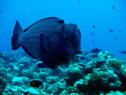 pez loro Palau