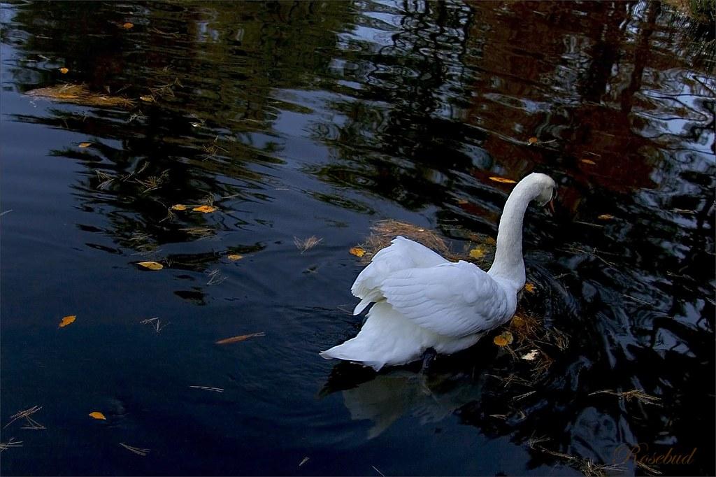 swan ©2007 RosebudPenfold