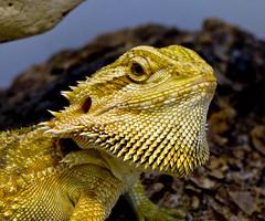 Bearded dragon (bored-now) Tags: dragon reptile lizard beardeddragon mywinners dsch3 a3b thebestofday gnneniyisi 20080112