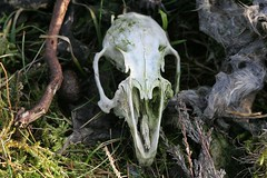 Rabbit's skull (Richard Carter) Tags: uk macro rabbit nature skeleton death skull wildlife mammals westyorkshire hebdenbridge calderdale caldervalley uppercaldervalley onthemoor
