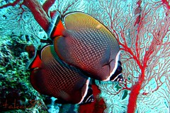 Pair of Redtail Butterflyfish, Thailand (_takau99) Tags: ocean trip travel bon red sea vacation holiday fish uw nature water topv111 coral thailand island lumix islands topv555 topv333 marine asia southeastasia underwater indian topv1111 indianocean topv444 dive january scuba diving topv222 panasonic thai tropical scubadiving phuket 2008 similan khaolak andaman andamansea butterflyfish orangeblue similanislands westridge chaetodon fx30 similanisland kohbon takau99 chaetodontidae redtailbutterflyfish edive dmcfx30