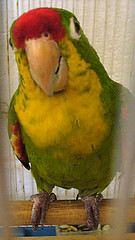 Crispn (yazz20) Tags: red verde green bird yellow rojo parrot amarillo conure loro pjaro cotorra aratinga