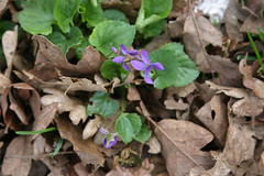 Violet-type flowers coming up through old fall leaves