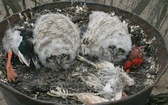Mitchell GHOW nestlings