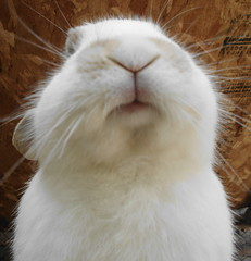 Bunny Kisses (Srch) Tags: rabbit bunny conejo whiterabbit conejoblanco whitebunny bunnykisses