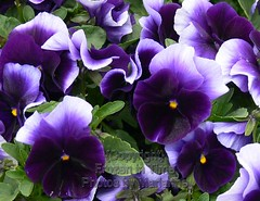 FBI- 226  PURPLE PANSIES (Frozen in Time photos by Marianne AWAY OFF/ON) Tags: flowers flower wow purple pansies fbi purpleflowers purpleandgreen favorites5 friends~ purplepansies eastbrunswickchateau nationalgeographicwannabes floweraddicts wowphoto impressedbeauty flickrhearts wowiekazowie flowerpicturesnolimits impressedbyyourbeautyinviteonly favoritesbyinterestingness flowersarebeautiful heartawards flickrsun flowersandgarden flickrroseawards flowersallkinds ilovemypics flowersarefabulous nationalgeographiswannabes pansyworld pansiepansyviolajohnyjumpup