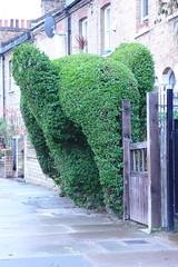 Stroud Green Elephant Topiary, Strange Happenings in Suburbia Pt 1 (sa1000) Tags: elephant london strange topiary hedge strangehappenings happenings stroudgreen londonist