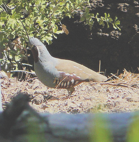 Mountain Quail by Hugh Ranson.