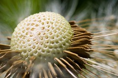 Dandelion / Blowball (Flickr Hype) Tags: macro spring dandelion makro frhling lwenzahn pusteblume blowball