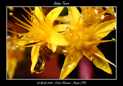 Sedum Tears (Paride81) Tags: flowers italy macro nature canon eos 350d drops tears italia country natura campagna fiori sedum gocce lacrime pachyphytum goldstaraward