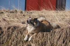 Stretching (Fra mn) Tags: dog iceland spring sheepdog icelandic bangsi