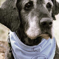 Reprieve: Sam's surgery postponed to May 29 (MaureenShaughnessy) Tags: family dog cool sam elder flatcoats flatcoatedretriever flatties  oldsoul 19yearsold thelittledoglaughed iamadogperson sam4article