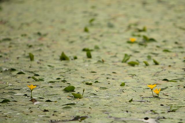 水上の小花
