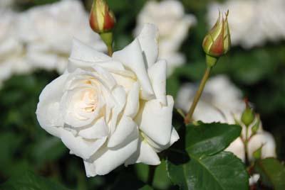 rose garden prize