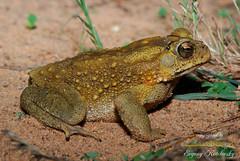 Duttaphrynus melanostictus (Evgeny Kotelevsky) Tags: bufonidae duttaphrynus melanostictus toad amphibian herpetology