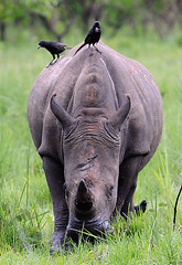 Nandi, Female White Rhino Ziwa Rhino Sanctuary, Uganda 2/2