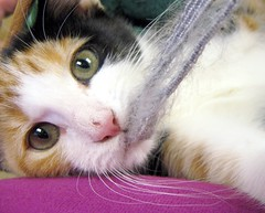 Halle the Calico Kitten Swears on Her Mother's Whiskers that She Knows Nothing about the Theft of Any Camera Straps, #1 in a short series (Pixel Packing Mama) Tags: cute fantastic lovely1 gorgeous adorable catsandkittensset congratulations calicocats terrific exclamationpoints catskittensset v5000 pixelpackingmama dorothydelinaporter favorites15 worldsfavorite catcentury views3500 bonzag favoritedpixset kissablecat cc5000 abcsand123spool 20commentsanduppool spcacatspool blackcatkizzy cat5000 whitepetsonlypool greatpixgallery10favespool canonpowershota570is 100views10favouritesunlimitedpool views50007500pool catspinknose canona570isclub exclamationpointspool pixwithexclamationpointsincommentsset canonallcanonset 5favesinlessthan27views thecorvallisoregonyearsset views1000andupdomesticcatsonlypool 1025favouritespool 5000viewsmusthave5000viewspool furryfuncutefunnyanimalspool thatsgettingupclosepool abcs123sentriesset allthingsmacropool bonzagallery10favesonlypool uploadedsecondhalfof2007set abcsand123stimetopostyour2008favoritespool iisforincriminatingevidence exclamationpointsincommentsset pixelpackingmama~prayforkyronhorman tenuouslinkspool oversixmillionaggregateviews over430000photostreamviews