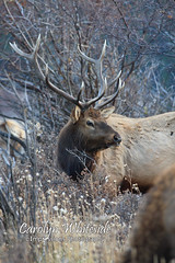 Late Evening Elk