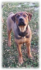 Napoleon at 6 months (muslovedogs) Tags: dogs napoleon mastweiler myladyoffspring lilboyoffspring