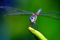 Dragonfly Macro Version (minds-eye) Tags: plants macro nature face bug insect wings pretty dragonfly lips wierd marco specinsect