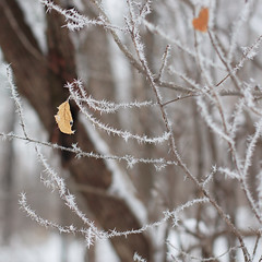 A thorny winter (Mingfong) Tags: winter white snow ice leaf december heart snowy story albumcover thorns stories thorny 桌布 accompany lookafter 寒冷 mingfong madison365 musicflyer mingfongjan 雪國 artbrochure 雪日 sketchoflight mingfongphotography
