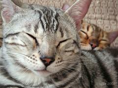 Jab_and_Tig (nikameri) Tags: cats bengalcats kissablekat bestofcats