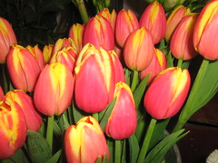 just tulips in the dark (MadalenaPestana) Tags: flowers winter roses orange green portugal yellow lisboa january smrgsbord platinumphoto madalenapestana flowerwatcher naturewatcher llovemypic