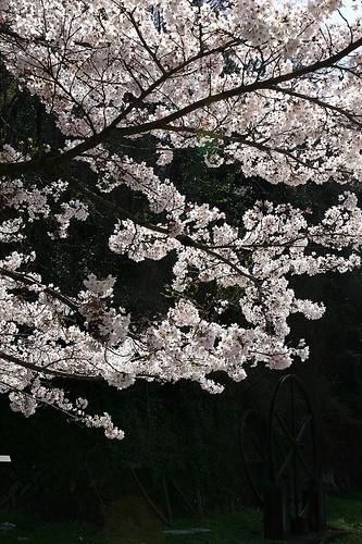 インクラインの桜1