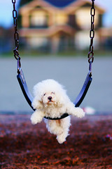 Relax ((Fire)) Tags: dog pet cute puppy gorgeous swing poodle pepsi carlzeiss mywinners 85za theunforgettablepictures llovemypic