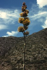 Joshua Tree (6) - century plant agave americana