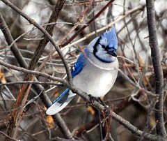 Bird - Blue Jay Cyanocitta cristata (blmiers2) Tags: blue newyork bird nature beautiful birds nikon jay wildlife birding bluejay bluejays avian cyanocittacristata jaybird wildbirds passeriformes corvidae jaybirds backyardbirds birdphoto bluejaybird bluejaybirds ttcu d40x bluejayphotos bluejayphoto bluejaypictures birdjay picturesbirds wildjay blm18 blmiers2