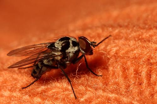 Orange Fly_02