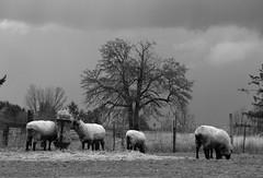hungry sheep (artistgal) Tags: blackandwhite rural sheep grazing jalalspagesanimalkingdom