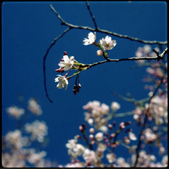 cherry blossoms (lawatt) Tags: sanfrancisco goldengatepark flowers blue sky tree film cherry polaroid fuji branches blossoms hasselblad 500cm packfilm fp100c 120mmcf