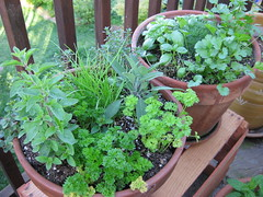 2008 herb crop on the patio (thomas pix) Tags: garden dill herbs mint sage patio basil parsley chives cilantro thyme oregano eyefi