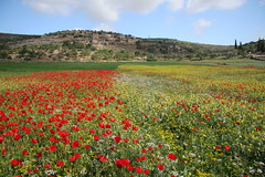 Fields of Yanoun (hazy jenius) Tags: nature beauty israel scenery war colorful peace village view palestine westbank middleeast photojournalism conflict wildflowers holyland socialdocumentary occupation fotogezgin flickrlovers