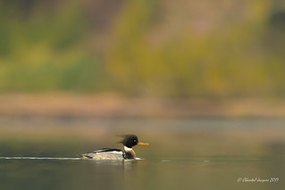 Red-breasted Merganser on a colourful lagoon