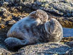 2017 Seal pup  flipper 2 up_ (davidmcbridephotography) Tags: red atlantic grey seal juvenile cute isles scilly cornwall united kingdom teeth laugh interaction rescue bdlmr happy smile wild atmospheric natural history observation cuddly resting sleeping cleaning scillies sunny comfortable cost relaxed content olympus halichoerus grypus very cosy bliss hapiest rest