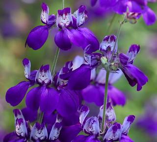 Collinsia_heterophylla_Madera2_3_2