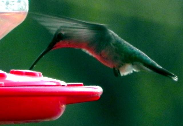05-08-2011_Hummingbird